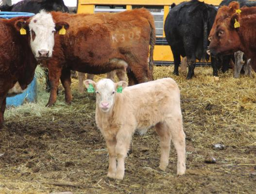 CALVING SEASON can bring in cute calves, but there are risks.